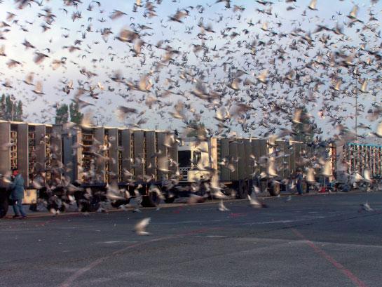 Lacher-pigeons2