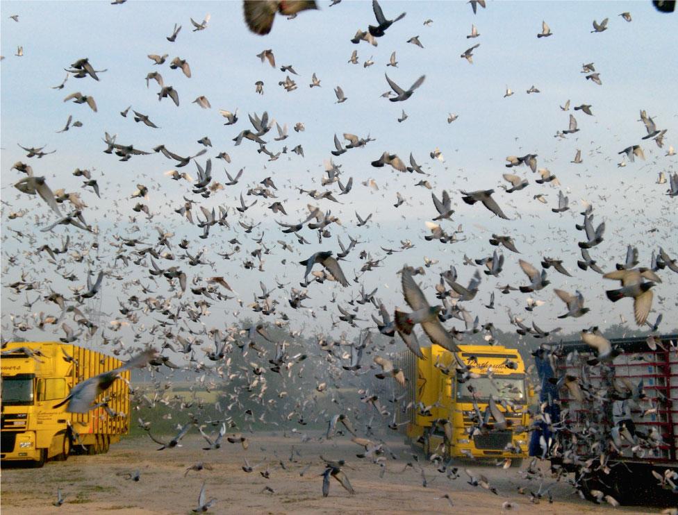 lacher-pigeons